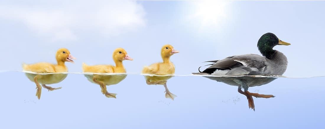 ddtc-ducks